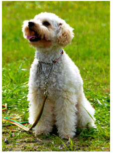 殺処分寸前のトイプードルあんずちゃんが、警察犬試験に合格