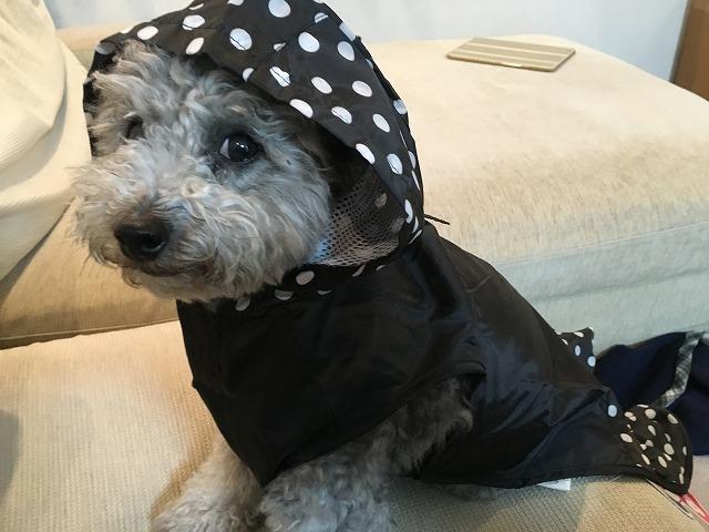 梅雨入り★雨の日の散歩用に水玉レインコートを買いました