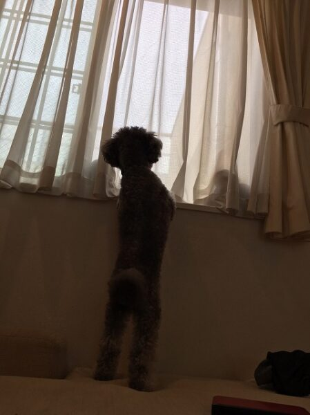 犬の分離不安とは?飼い主への依存心が高いわんこのお留守番ストレスをなくしたい