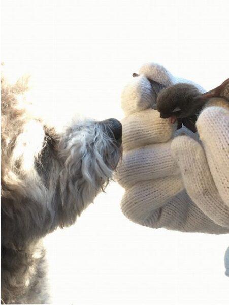 コウモリを捕まえてはいけない理由と糞害防止方法