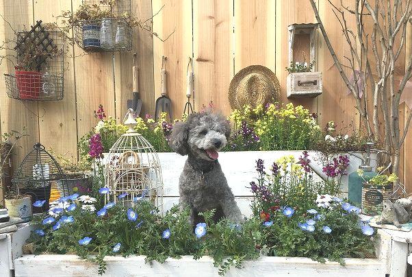 犬用撮影セットがある福生市の【ドッグガーデンこにわん】で貸切プードル祭り